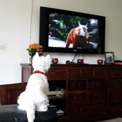 Excited Westie dog loves watching TV
