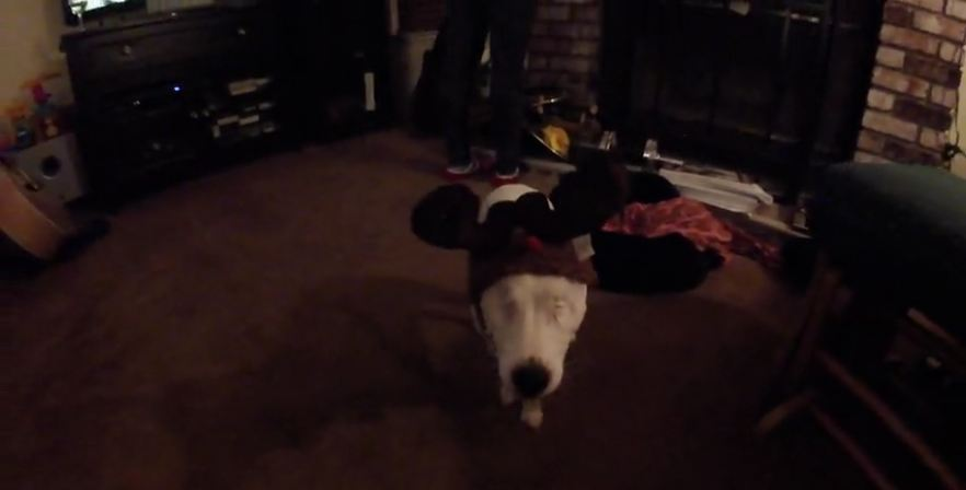 Eyeless Jack Russell thinks she's a reindeer!