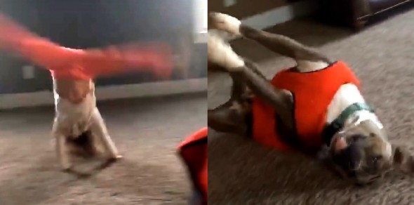 Pit Bull Adorably Tries to Imitate Little Girl's Cartwheel