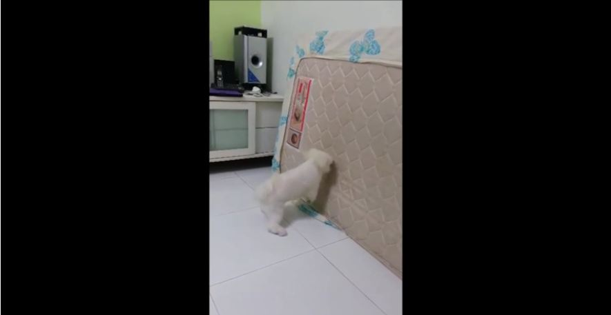 Determined puppy attempts to dig into mattress