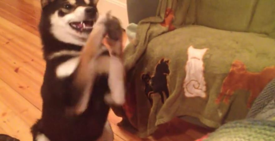 Persistent dog knows exactly how to get her way