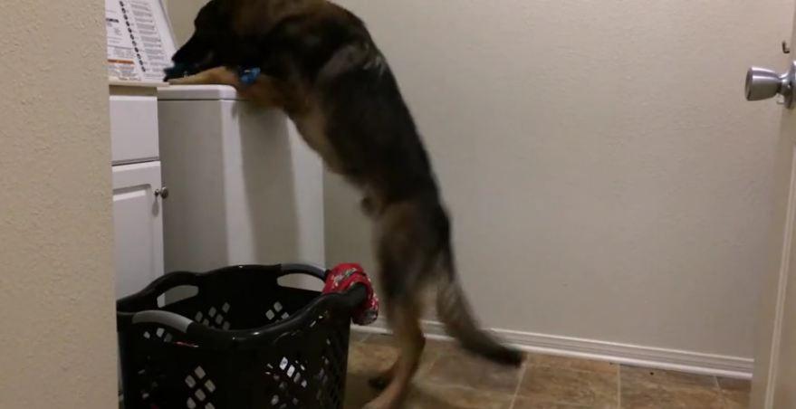 Helpful dog loads washing machine for owner