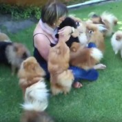 Pomeranian Puppies Happy To See Their Owner Swarm Her With Fluffy Hugs