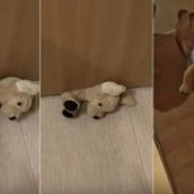 Nothing Can Stop This Determined Corgi From Getting His Favorite Toy