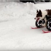 This Dog May Be In A Wheelchair, But That Doesn't Stop Him From Going Skiing!