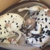 Dalmatian couple adopts 5 foster kittens