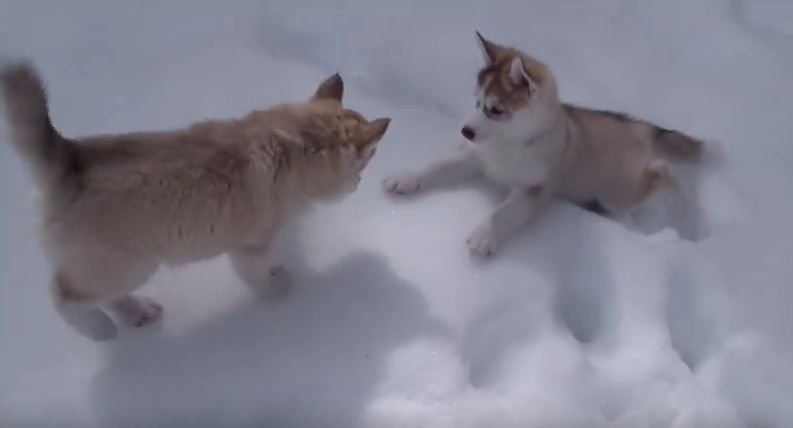 See That Husky Puppy? She Doesn't Know What Snow Is, But She's About To Find Out