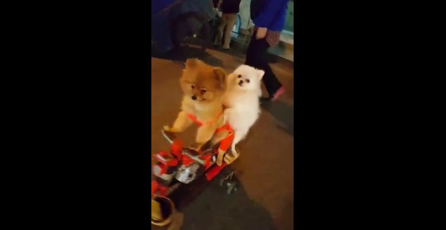 Two dogs riding a scooter