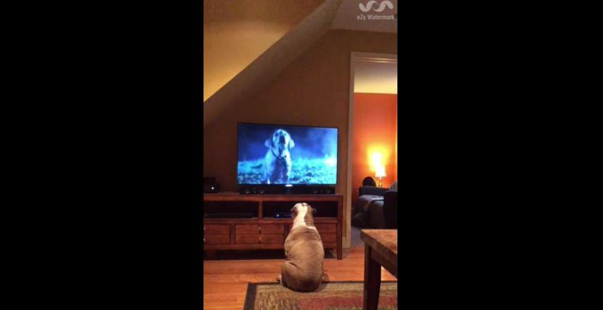 English Bulldog never misses her favorite commercial