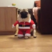 Santa Pug is coming to town!