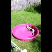 French Bulldog in kiddie pool protests lack of water
