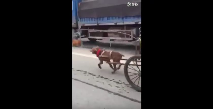 SO WRONG! Dog chases Chicken and Pulls Cart
