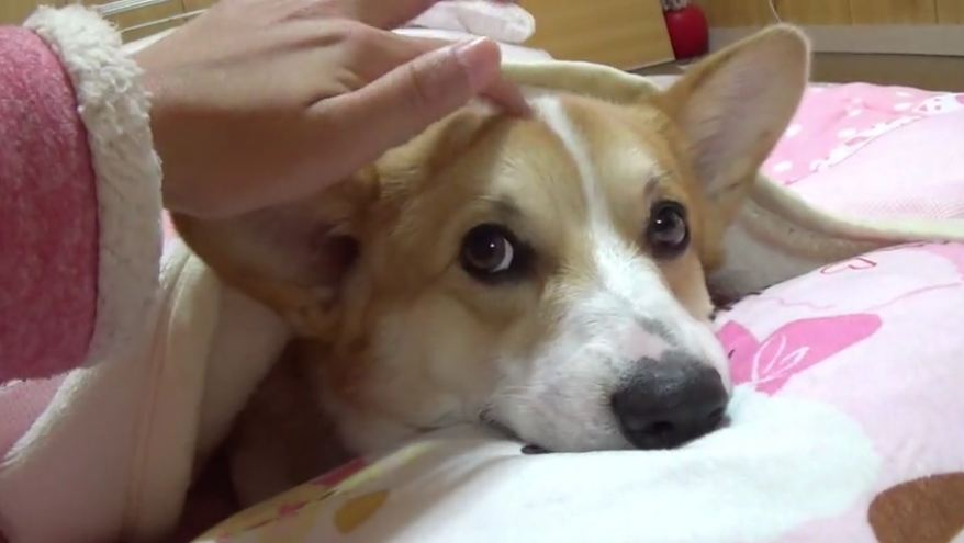 Nothing is as precious as this sleepy Corgi