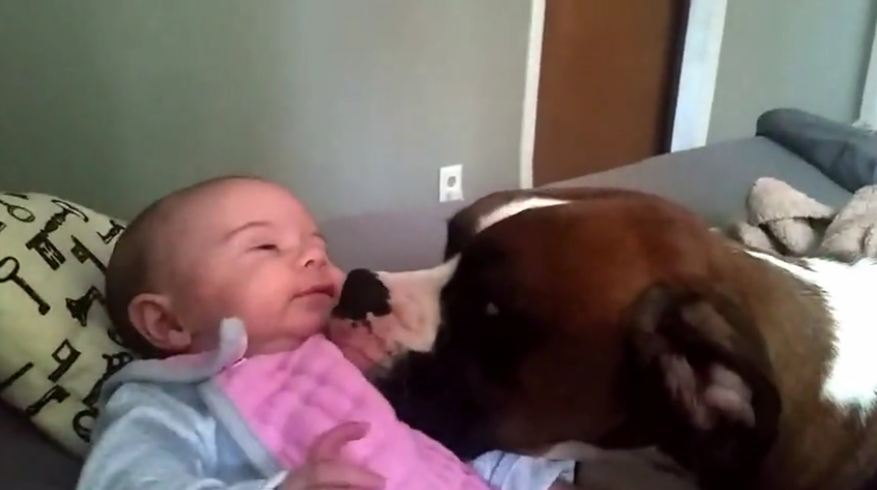 Loving Boxer gives 2-month-old baby a kiss