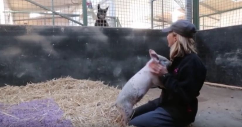Dog Gets Jealous When Pig Gets A Belly Rub!