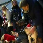Pugs hit fashion runway at Christmas market in Kiev, Ukraine