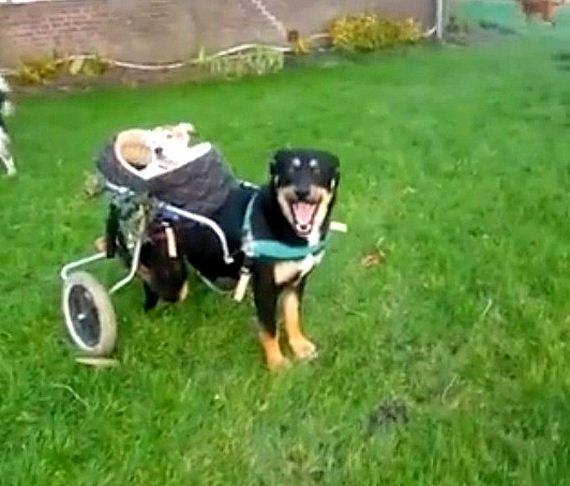 01-DOG-IN-WHEELCHAIR