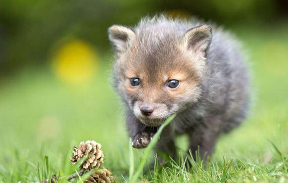 01-Orphaned-Baby-Fox