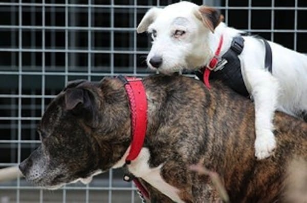 Jack Russell With His Guide Dog Both Looking For A Forever Family