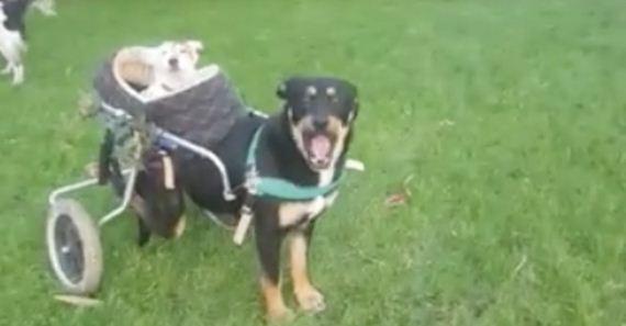 03-DOG-IN-WHEELCHAIR