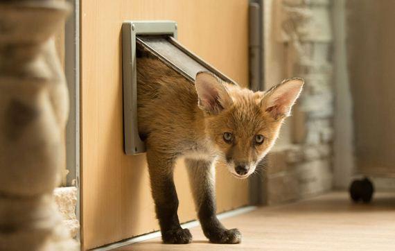 06-Orphaned-Baby-Fox