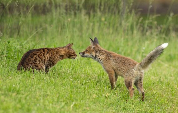 07-Orphaned-Baby-Fox
