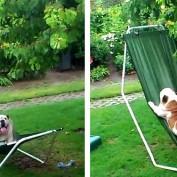 Bulldog Turns Hammock into a Playground