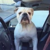 English Bulldog makes his rounds for neighborhood watch