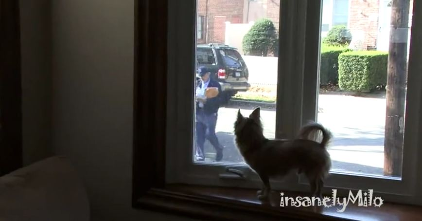 Milo the Chihuahua absolutely hates the mailman