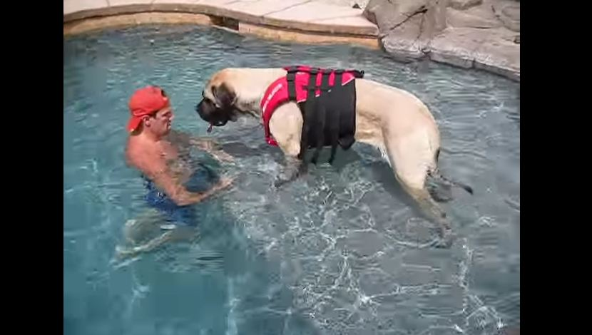 This Giant Mastiff Is Trying To Learn How To Swim, But She Needs Dad's Shoulder To Lean On.