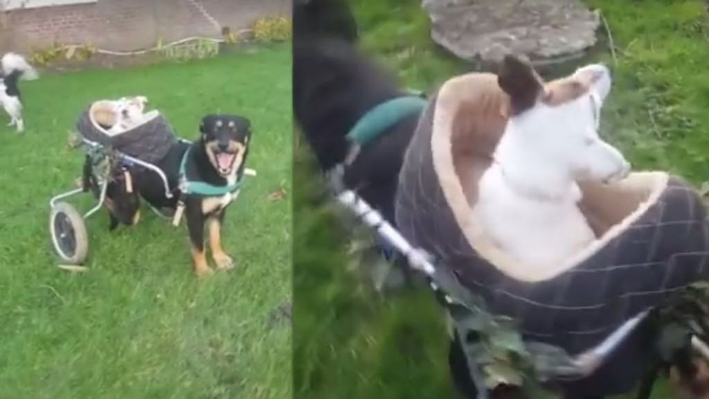 Dog with Wheelchair Takes Blind, Deaf Best Friend for Rides
