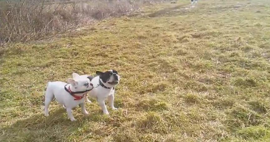 Hilarious French Bulldog barking compilation