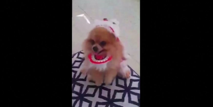 Small dog performs big lion dance