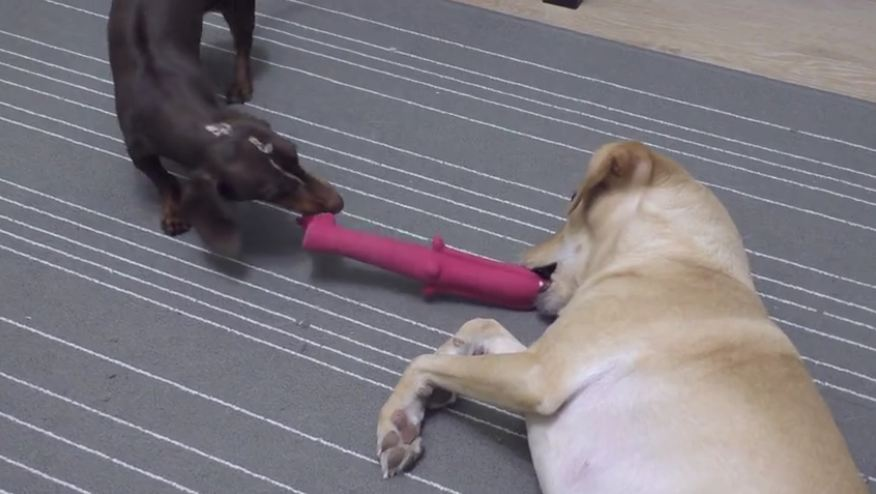 Battle of patience between two dogs for their favorite toy