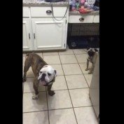 Bulldog and Pug extremely skeptical of rotisserie chicken