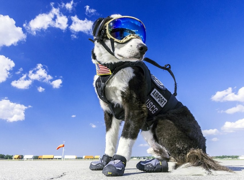 This No-Nonsense Border Collie Spends His Days Protecting A Michigan Airport