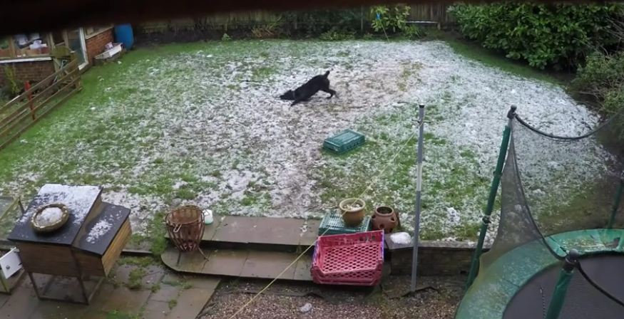 Happy Dog Runs Around The Backyard And Makes Doggie Snow Angels