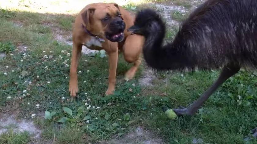 Having Emus for Best Friends Isn't Weird at All!