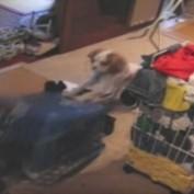 Dog Springs Laundry Basket Trap on Other Dog