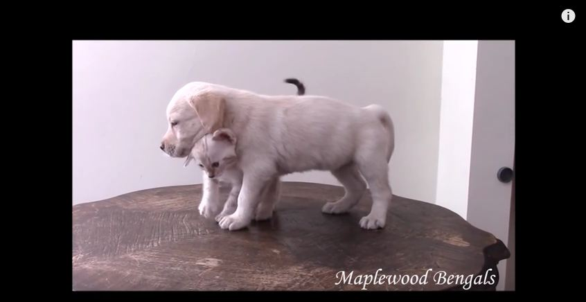 Watching A Snow Bengal Kitten Become Friends With A Lab Puppy Is Way Too Precious