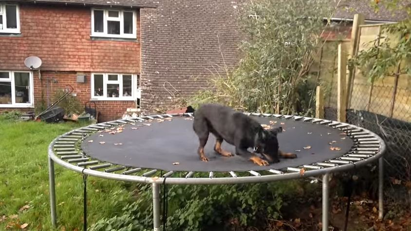 Watch This Happy Dog Having The Time Of Her Life On The Trampoline!