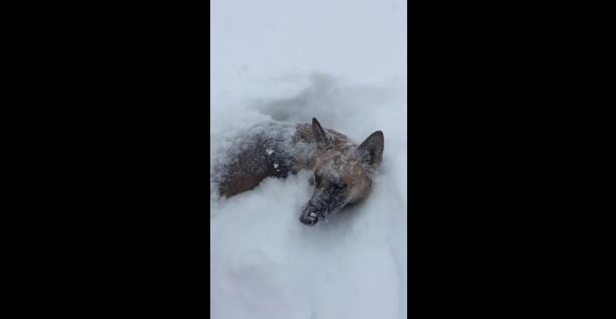 German Shepherd makes the most of blizzard aftermath