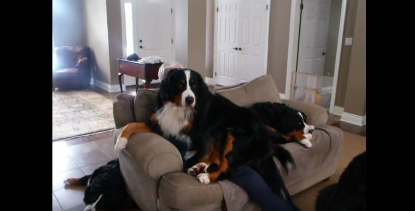 The Bigger They Are…The More They Want To Be In Your Lap!