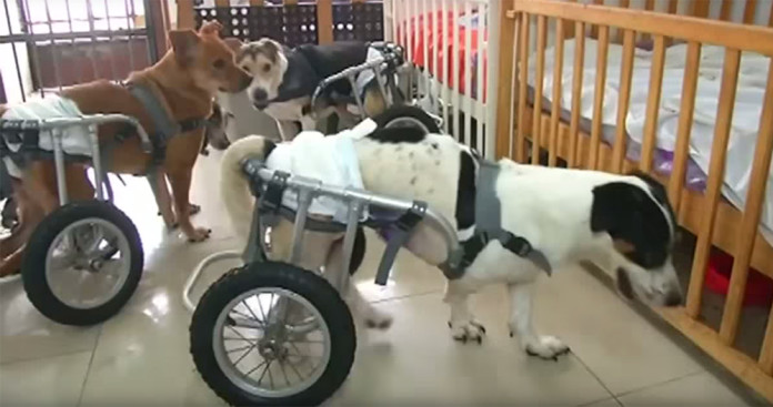 Shelters that rescue paralyzed dogs are worth a visit . These poor puppies
