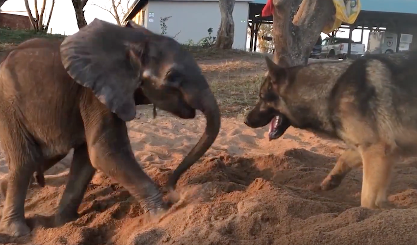 This Baby Elephant Was Rejected By His Herd. But Watch When He Meets The Dog…