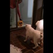 Deaf bulldog doesn't like Halloween mask