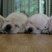 Four Sleepy Lab Puppies Snuggle Up For Nap Time Together