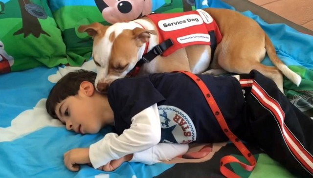 Service Pit Bull Wins Right To Attend School With His Very Special Human. This Made Me SO Happy