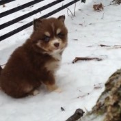 Baby Pomsky Puppies Play Around In The Snow