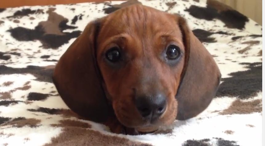 Lory: Timeline of an Adorable Dachshund